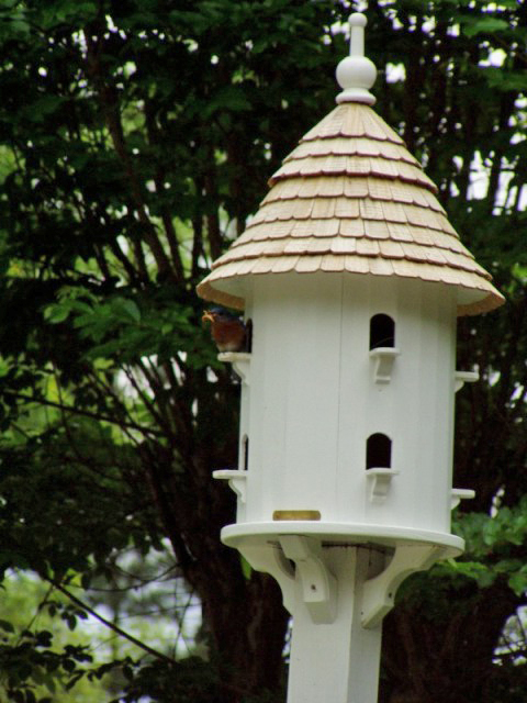 Bluebirds in Dovecote