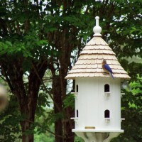 Bluebirds Nesting in Lazy Hill Dovecote
