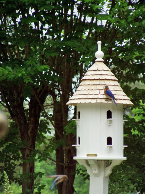 Bluebirds Feeding Babies in Dovecote