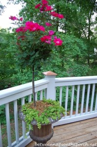 Knock out Rose Topiaries for the Deck