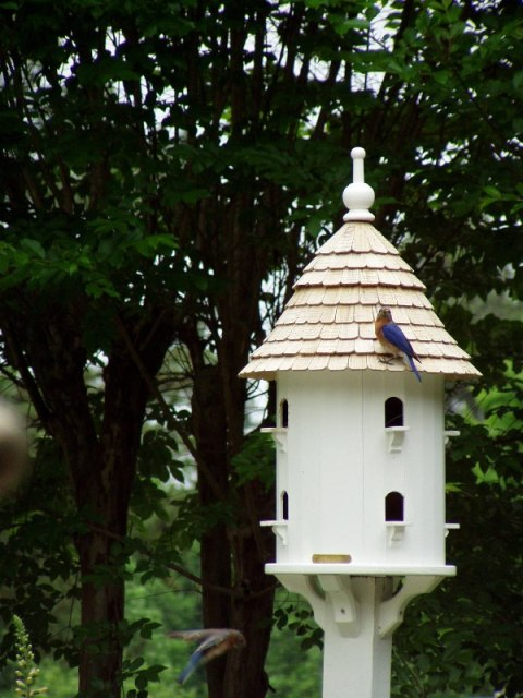 Bluebirds Nesting in Dovecote