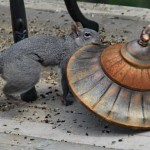 Squirrel Outwits Bird Feeder: The Story of Leon and Pearl
