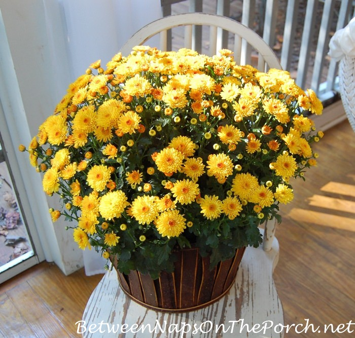 yellow-chrysanthemums-on-old-white-chippy-chair