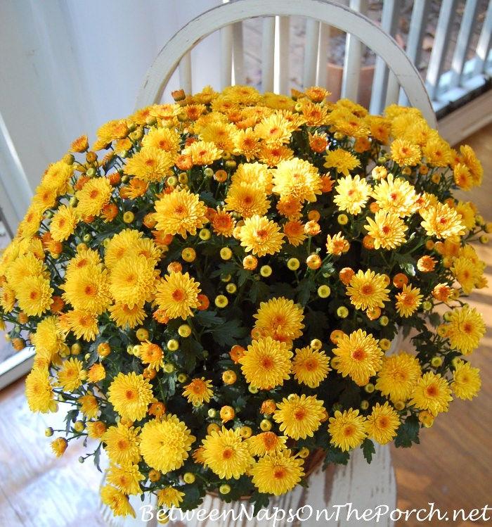 yellow-mums-for-a-fall-porch