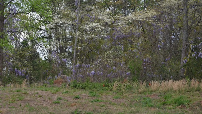 Wisteria Growing Wild