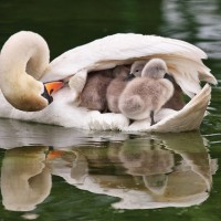 Mother Swan Transporting her Babies