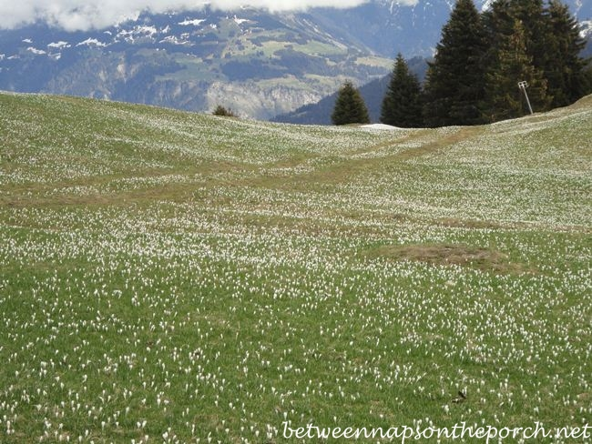 Croscus-flowers-on-mountainside-and-a-small-village-in-Switzerland