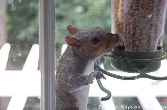 Squirrel eating hot seed