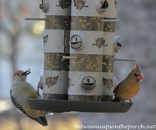 Woodpecker and Cardinal of Feeder