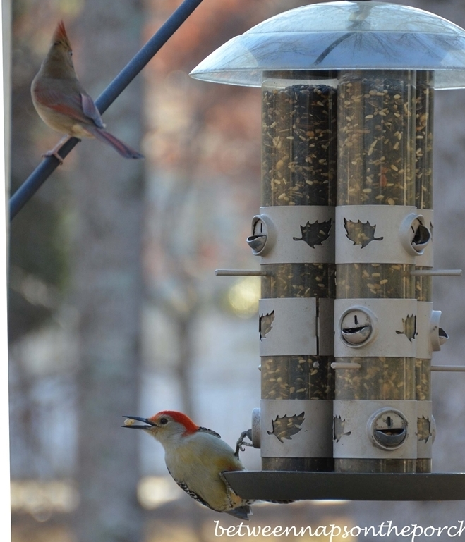 Woodpecker on Feeder with Cardinal