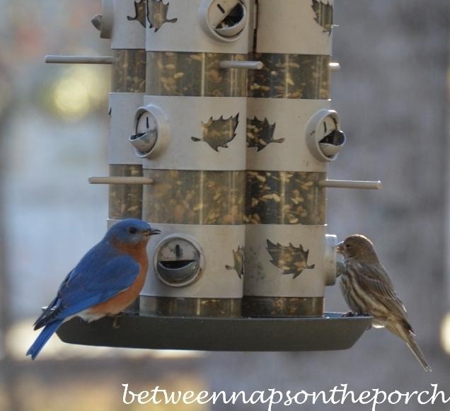 Bluebird on Feeder