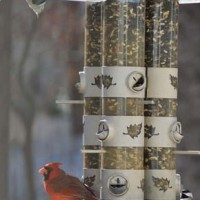 Cardinal, Chickadee and Nuthatch on Feeder (Featured)