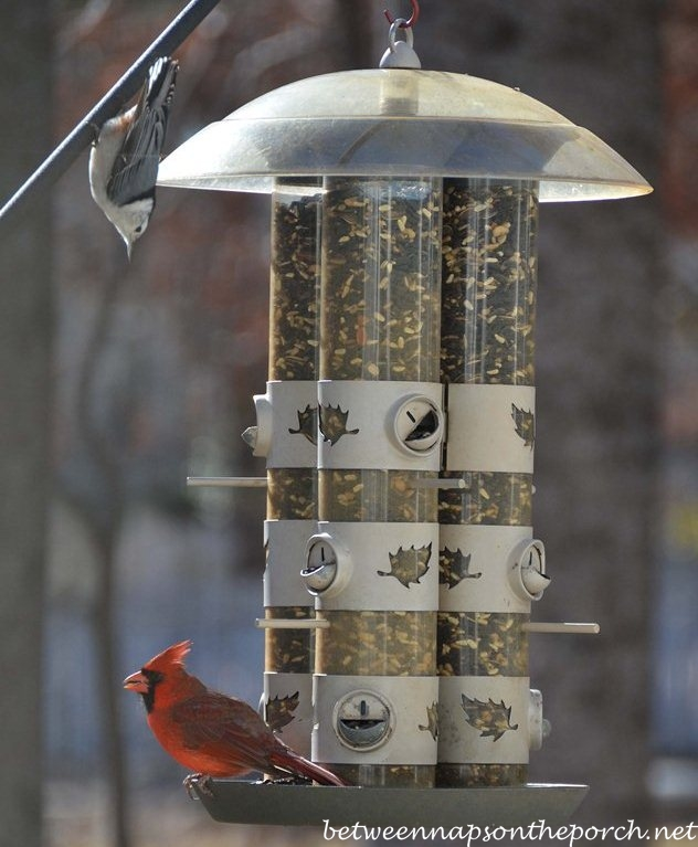 Cardinal with Nuthatch on Feeder