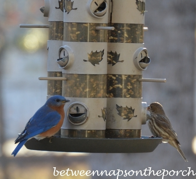 Bluebird-on-Feeder