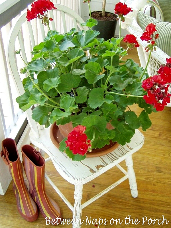 Red Geranium on Shabby White Chair