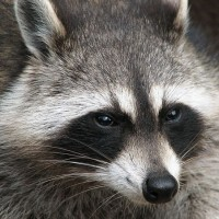 Raccoon from Wikipedia