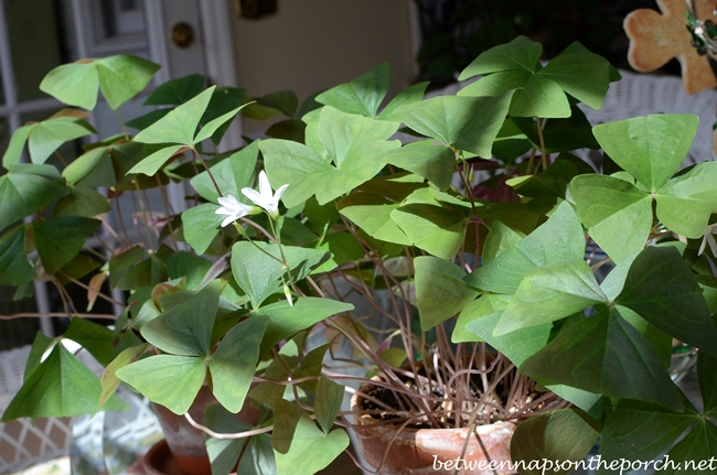 Shamrocks Plants