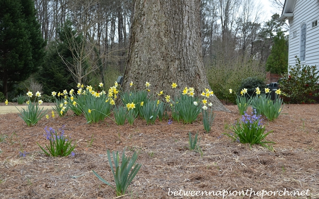 Daffodils for Springtime