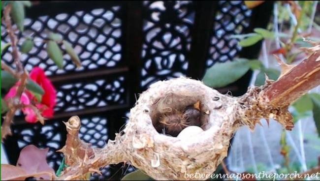 Hummingbird Nest with Baby 1