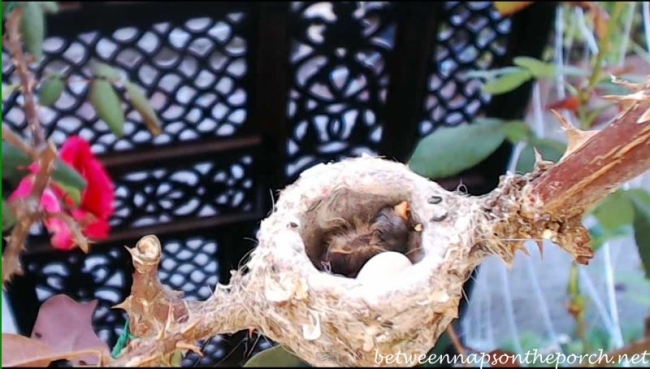 Hummingbird Nest with Baby 2
