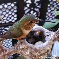 Hummingbird Nest with Baby 3