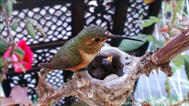 Hummingbird Nest with Baby 3