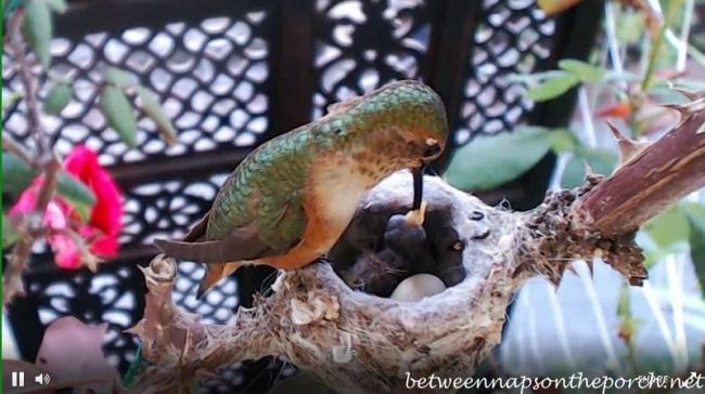 Hummingbird Nest with Baby 4