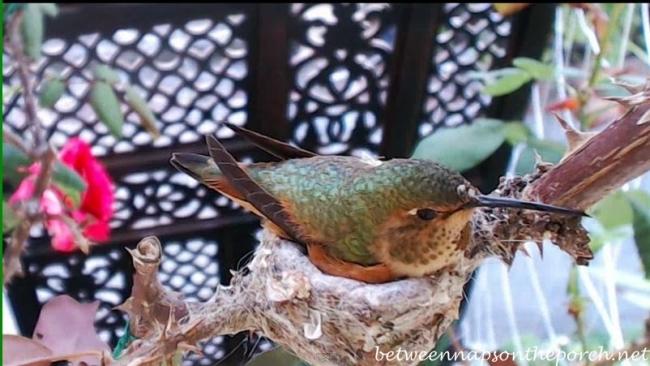 Hummingbird Nest with Baby 5