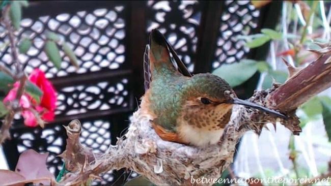 Hummingbird Nest with Baby 6