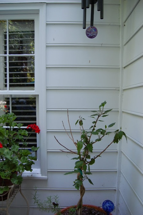 Hibiscus Leaves Eaten by Squirrels