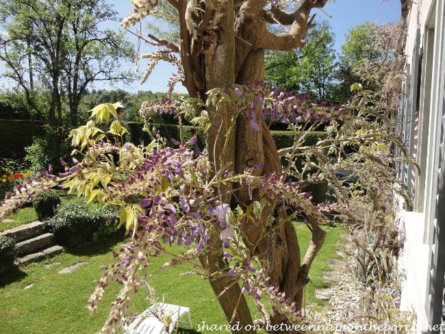 Wisteria just beginning to bloom