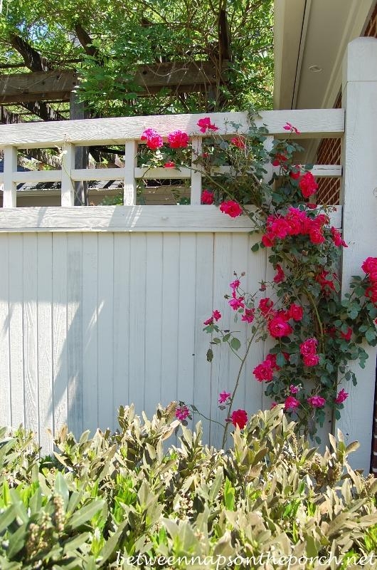Climbing Roses in the Garden