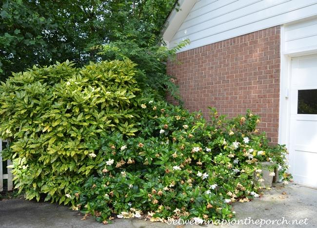 Gardenia Bush overtaken by Acuba