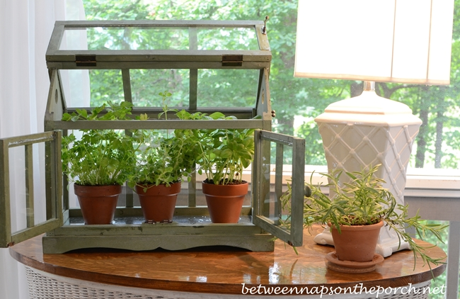 Growing Basil, Oregano and Parsley in a Tabletop Greenhouse