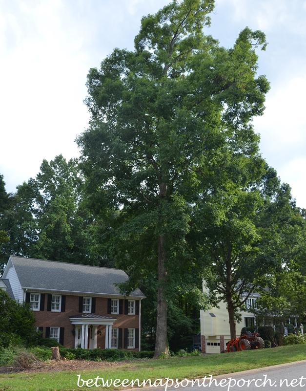 Two Oak Trees_wm
