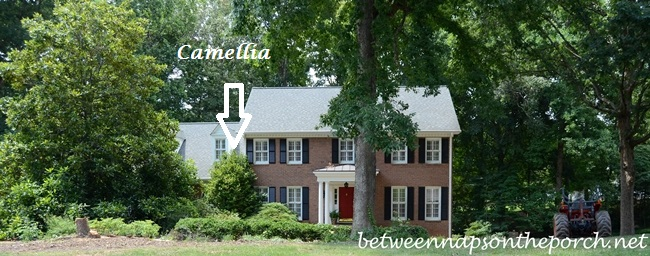 Camellia in Front Yard Renovation Makeover