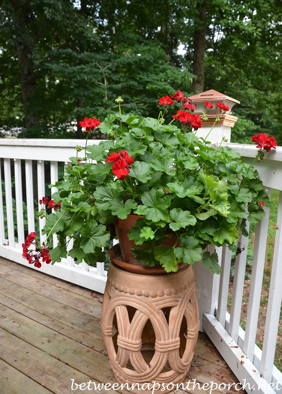 Geranium on Garden Stool 2