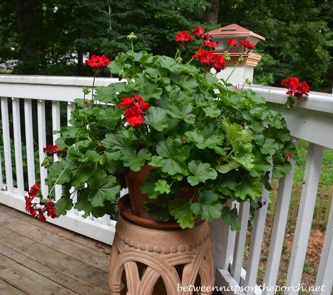 Geranium on Garden Stool_wm