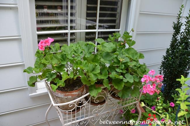 Pink Geraniums_wm