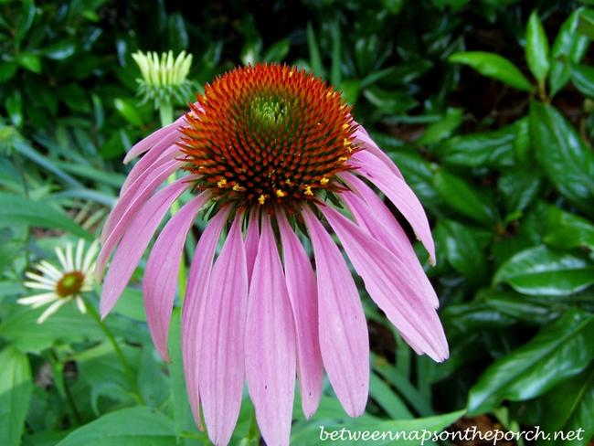 Purple Conflower_wm