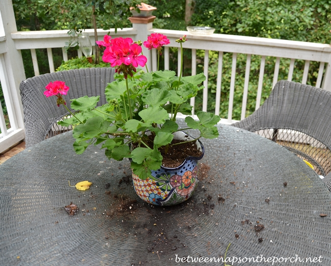 Chipmunk Creates Mess Playing in Potted Plant_wm