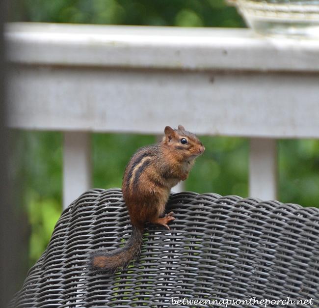 Chipmunk on Chair