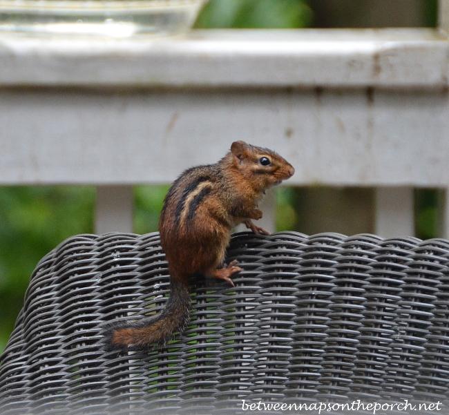 Chipmunk on Deck