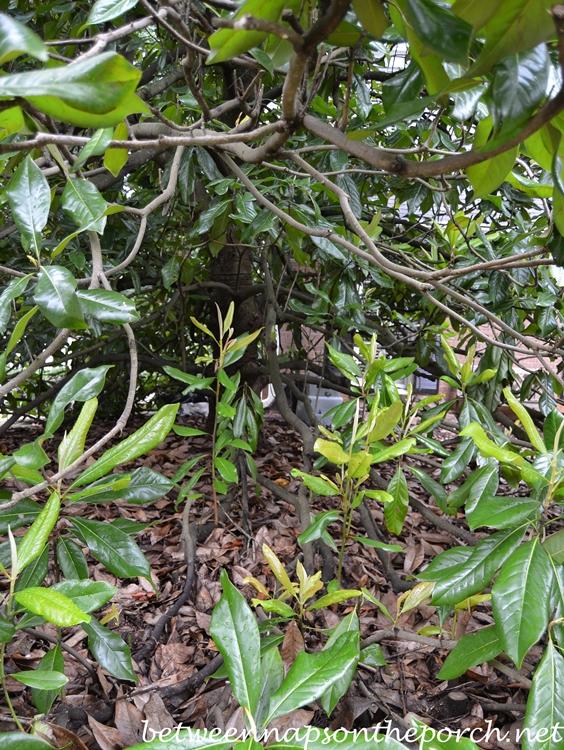 Magnolia Shoots