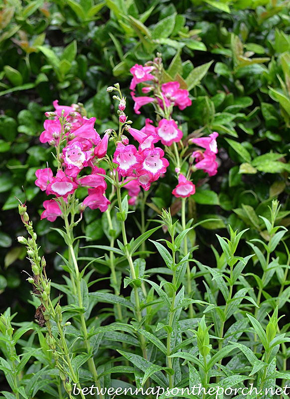 Penstemon Pensham Amelia Jayne Beard Tongue