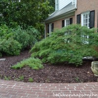 Transplanting a Waterfall Japanese Maple