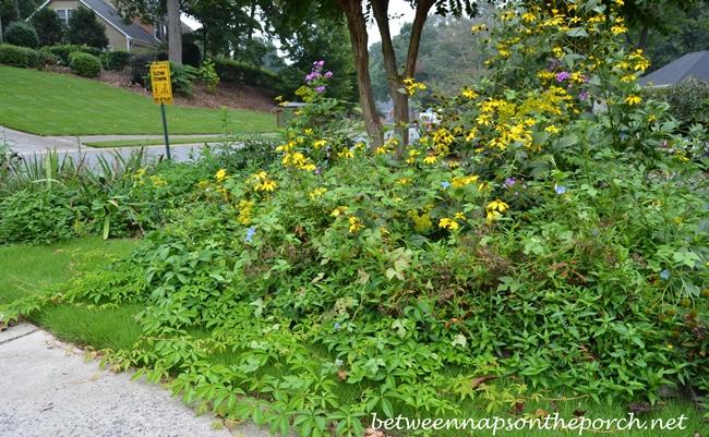Invasive Garden Weeds Chamberbitter and Black and Yellow Garden