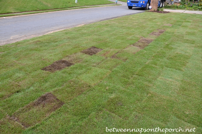 Zeon Zoysia Sod That May Need to Be Replaced