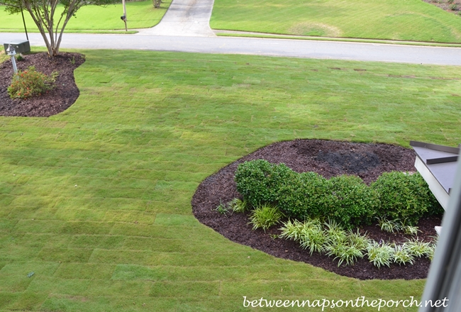 Zeon Zoysia Sod, View from Window