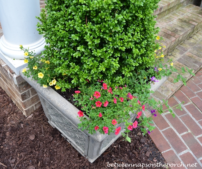 Boxwood Topiary with Annuals